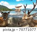 厳島神社大鳥居と夫婦鹿 70771077