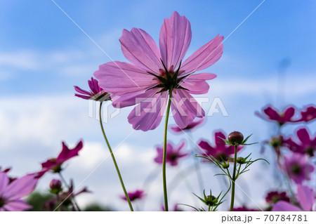 秋の晴天バックにピンクに輝くコスモスの花 70784781