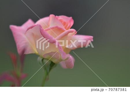 エレガントレディ(旧名ダイアナプリンセスオフウェールズ)という名の四季大輪系の薔薇の花 70787381