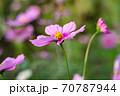 コスモス畑に太陽の光を受けて咲く一輪のピンク色のコスモス、やや斜め上からクローズアップ 70787944
