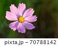 太陽の光を受けて咲く、ピンク色のコスモスを上からクローズアップ 70788142