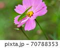 ピンク色のコスモスの上に乗っかるキリギリスをクローズアップ 70788353