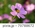 ピンク色のコスモスと花粉を食べるコガネムシをクローズアップ 70788672