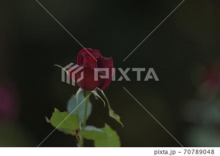 パパメイアンという名のフランスで作られた真紅の薔薇の花 70789048