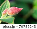 太陽の光を受けて、うぶ毛が光る赤い花の蕾 70789243