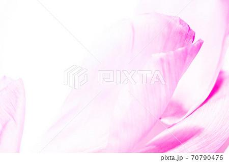 背景素材 花弁(ホワイトxピンク) 70790476