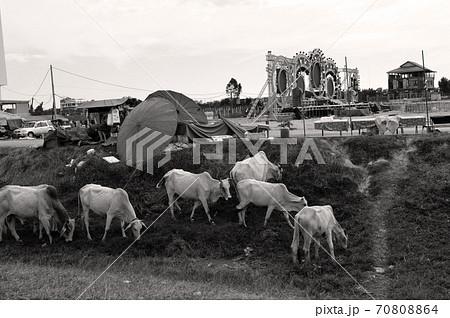 カンボジア・シェムリアップの道端で草をはむ牛の群れ 70808864