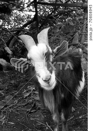 鹿児島県・与論島で飼われていたヤギ 70808945