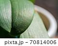 葉の上に落下した胡蝶蘭の小さな種 70814006