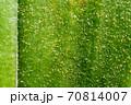 葉の上に落下した胡蝶蘭の小さな種 70814007