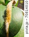 葉の上に落下した胡蝶蘭の小さな種 70814010