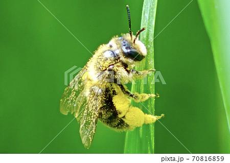 花粉まみれになって黄金色になったハチを望遠マクロ撮影 70816859