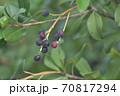 ブルーベリーの木に生る実と枝と葉 70817294