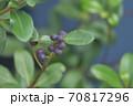 ブルーベリーの木に生る実と枝と葉 70817296