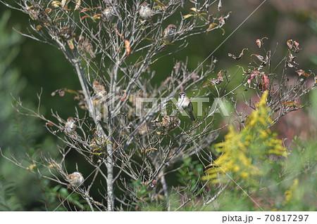 秋の終わりに枯れ枝に集まる雀 70817297