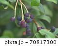 ブルーベリーの木に生る実と枝と葉 70817300