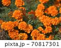 オレンジ色が美しいマリーゴールドの花 70817301