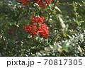 正月やクリスマスなどの行事で使いそうな赤い実のなる木 70817305