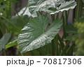 ジブリのアニメに出てきそうな大きな里芋の葉 70817306