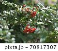 お正月やクリスマスに使いそうな赤い実のなる木 70817307
