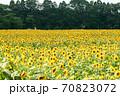 ひまわり畑 70823072