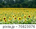 ひまわり畑 70823076