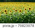 ひまわり畑 70823078