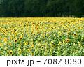 ひまわり畑 70823080