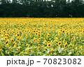 ひまわり畑 70823082