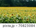 ひまわり畑 70823084