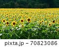 ひまわり畑 70823086