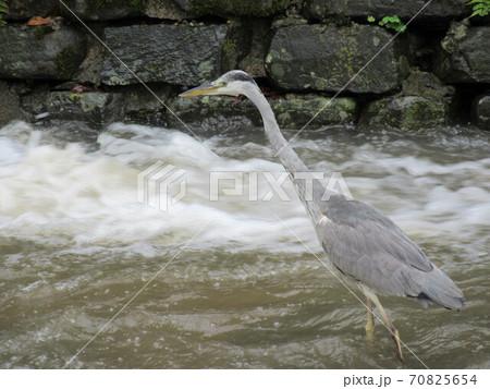 青サギの狩りの横顔 (川の中を獲物を狙って集中している青鷺さん) 70825654