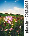 秋の風物詩、第花壇に咲き乱れる秋桜(コスモス) 70838998