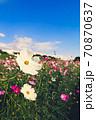秋の風物詩、第花壇に咲き乱れる秋桜(コスモス) 70870637