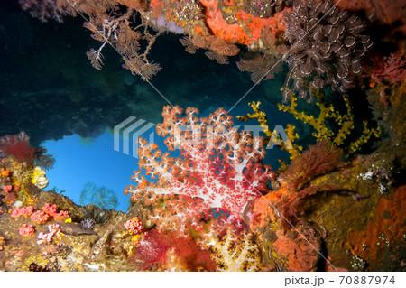 ダイビングのイメージ ピンクのサンゴ 70887974