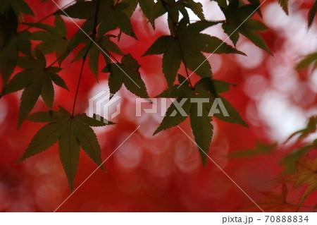 真っ赤な紅葉をバックにした緑のもみじの葉 70888834