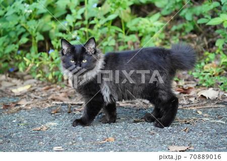 野良猫の子猫のこれからの季節に必要なファーの様な見事な毛並み 70889016