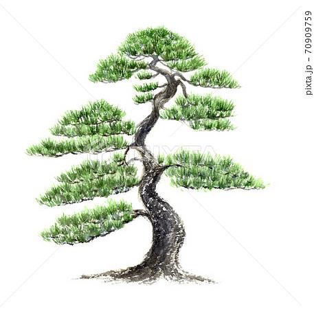 大きな松の木 水彩画 70909759