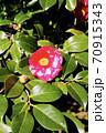 伊豆大島のツバキ 70915343