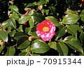 伊豆大島のツバキ 70915344