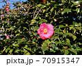 伊豆大島のツバキ 70915347