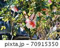 伊豆大島のツバキ 70915350