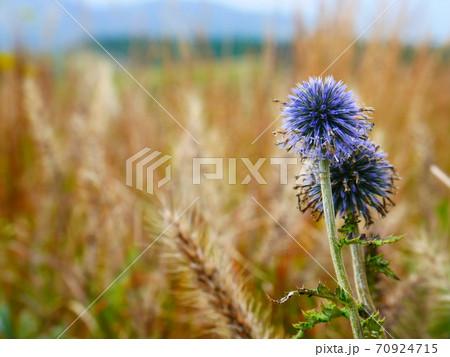 秋のススキと共に咲くヒゴタイの花 70924715