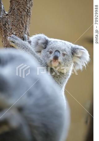 ひょっこりと見つめるコアラ(東山動植物園 名古屋市) 70929988