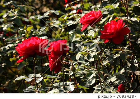 秋の陽射しを浴びる深紅の美しいバラ 70934287