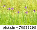 三日月池のノハナショウブの花 70936298