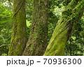 シダとコケの生えた木の幹 70936300