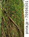つるとシダの絡まった木の幹 70936301