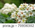 アブラギリの花 70936302