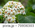 アブラギリの花 70936303